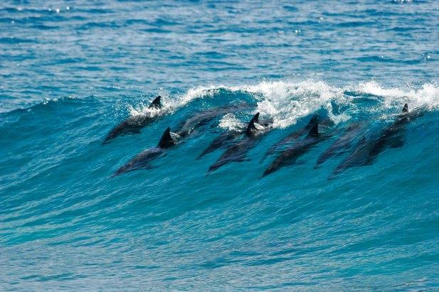 surfing-dolphins.jpg